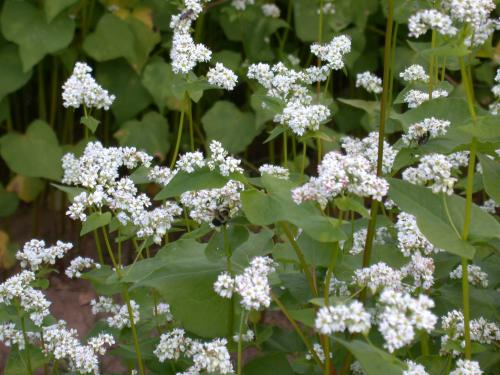 Buckwheat flowers attract a wide diversity of beneficial insects including pollinators. Because buckwheat can be planted in advance of an income-producing crop, beneficials can become established before they are needed.