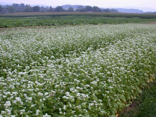 Buckwheat can produce 2 to 3 tons of dry plant material per acre, and can be broadcast or drilled.