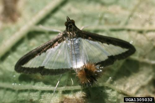 Adult melonworm moth