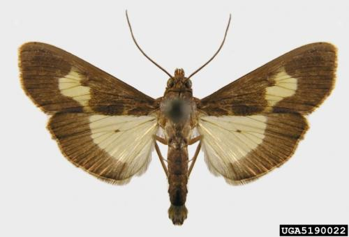 Adult pickleworm moth