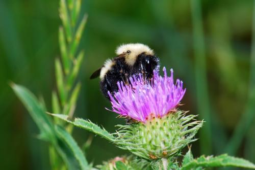 Bombus vagans on thistle flower