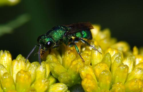 Cuckoo wasp (F: Chrysididae) on goldenrod (Solidago sp.)