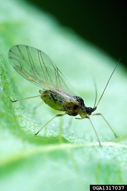 Winged Green Peach Aphid