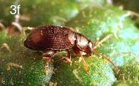 western potato flea beetle