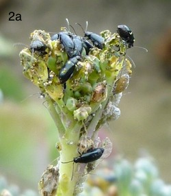 crucifer flea beetle