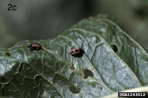 horseradish flea beetle