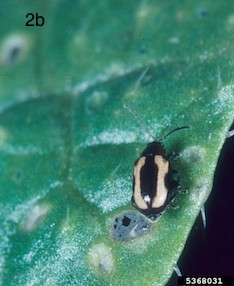 striped flea beetle