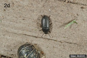 western black flea beetle