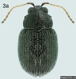 eggplant flea beetle