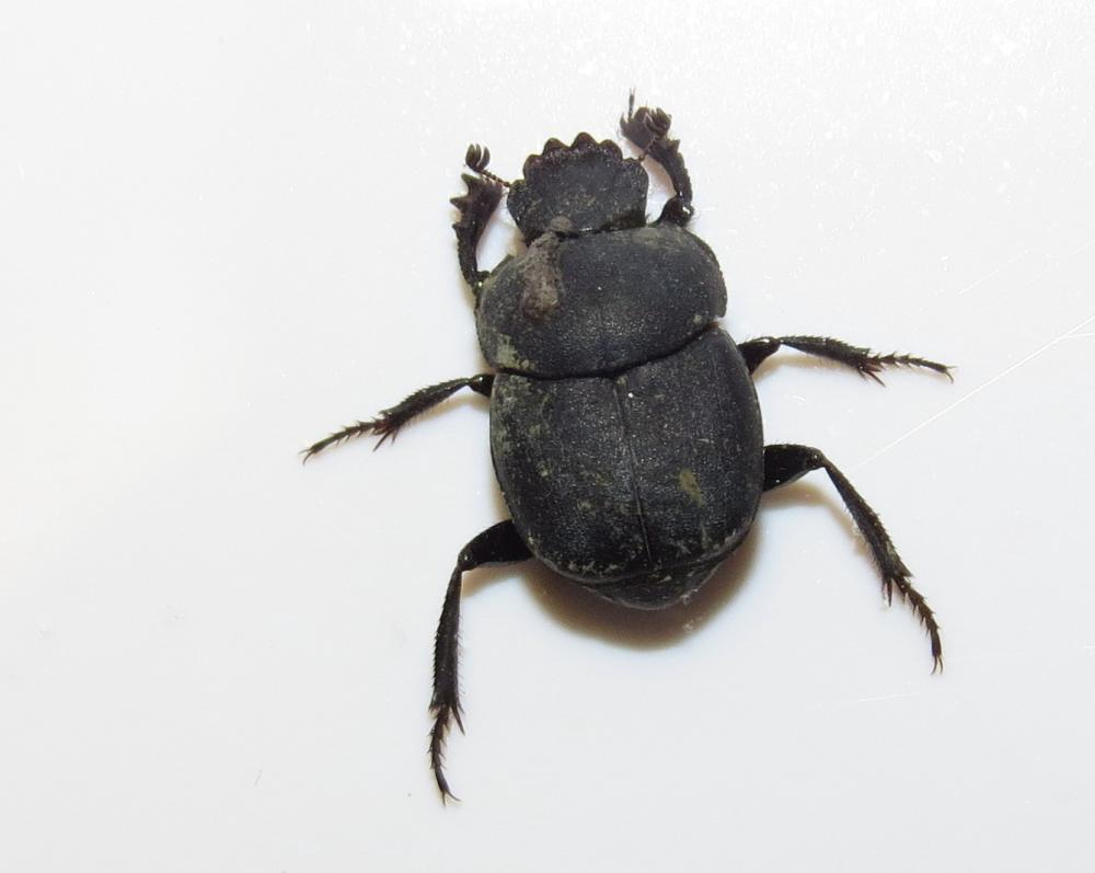 dung beetles how to identify and benefit from nature s pooper
