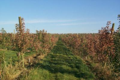 Orchard with burnt appearance due to fire blight Tim Smith WSU