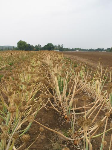 Onion seed field