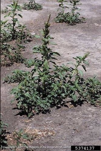 Mature redroot pigweed plant
