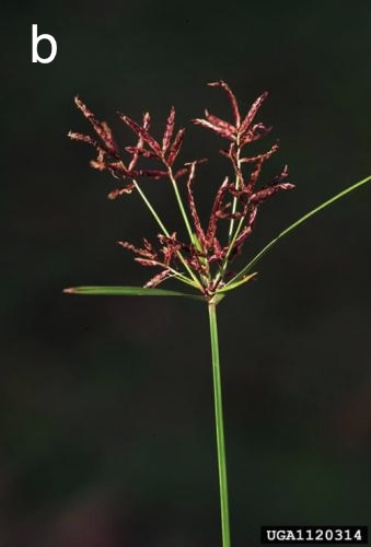 Purple nutsedge flowers